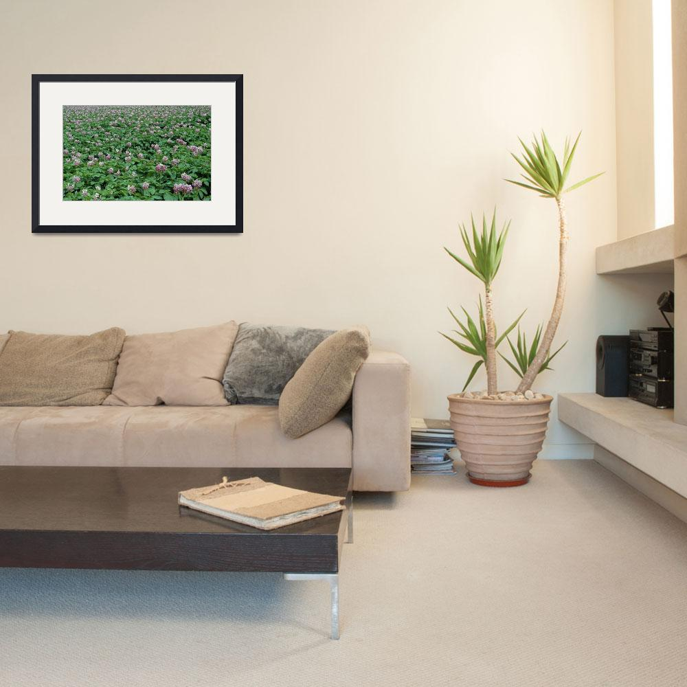 """""""Field of potato plants in bloom&quot  by Panoramic_Images"""