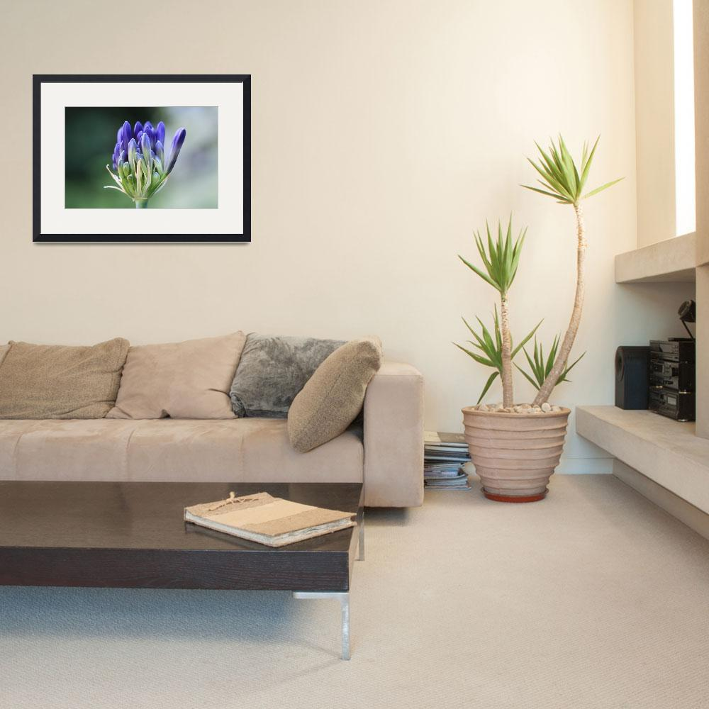 """""""Agapanthus Bloom""""  (2010) by Sunflowergirl39"""