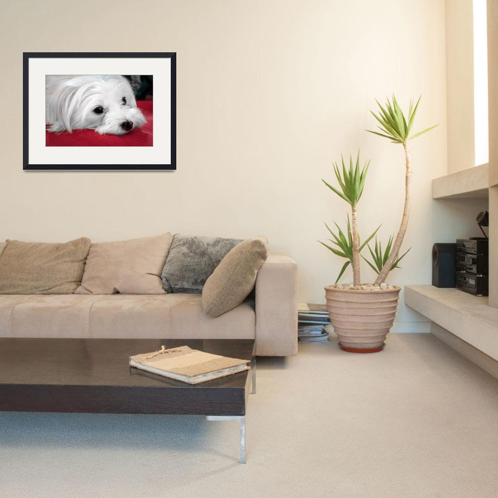 """""""Maltese Dog Looking Soulful&quot  (2017) by MotherNature1"""