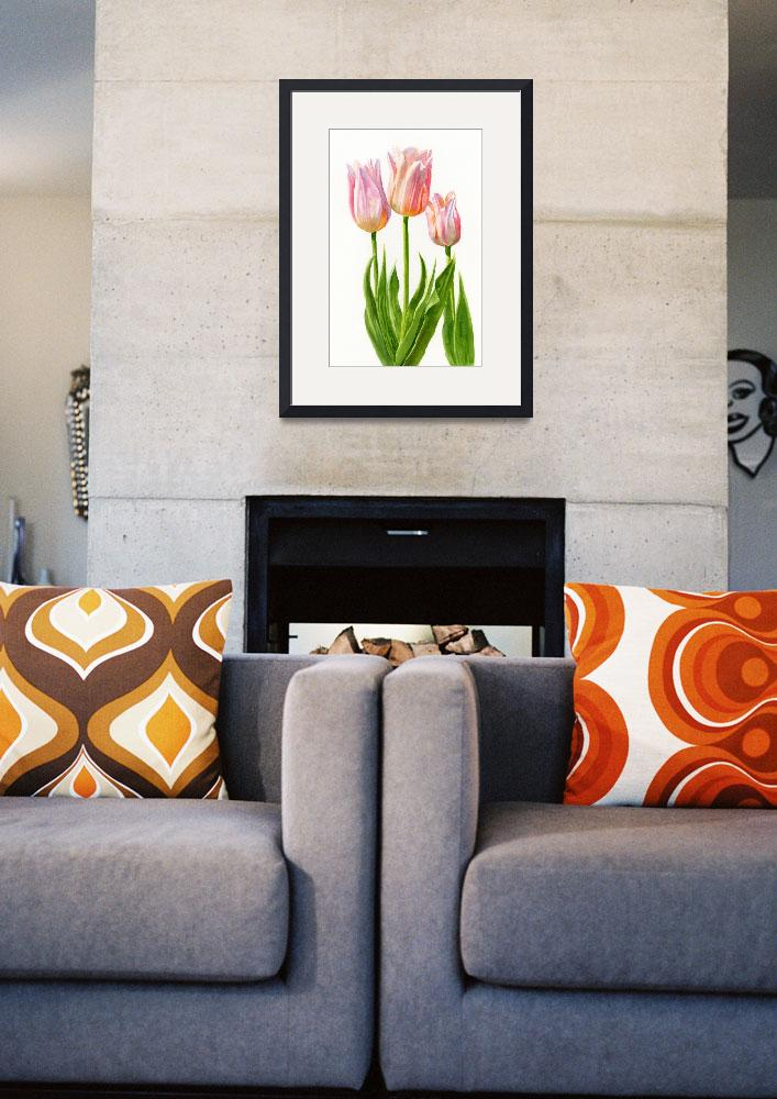 """""""Peach Colored Tulips, White Background""""  (2012) by Pacific-NW-Watercolors"""