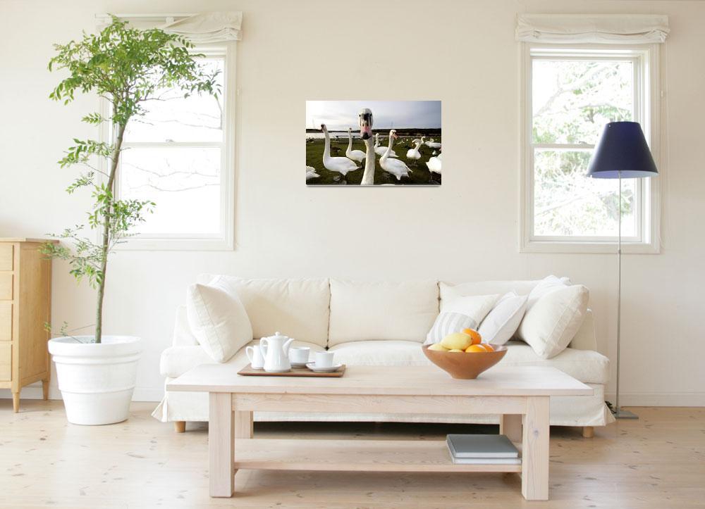 """Large Flock Of Swans On Land""  by DesignPics"