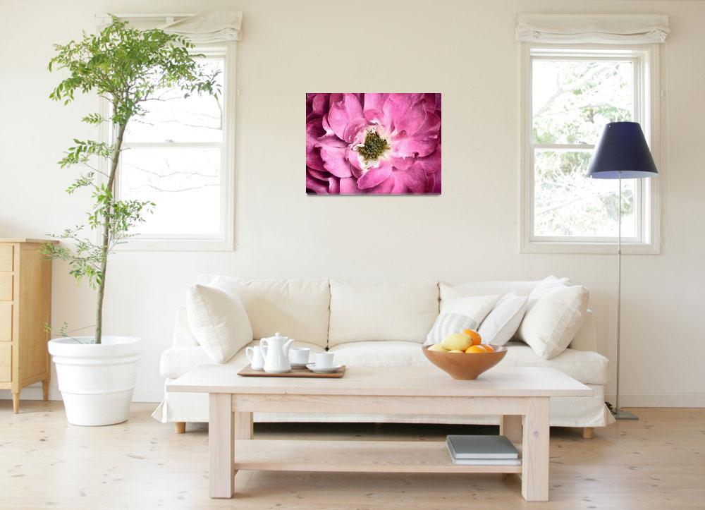 """Magenta Rose Petals & Stamens ~ Macro Flower Photo""  by Chantal"