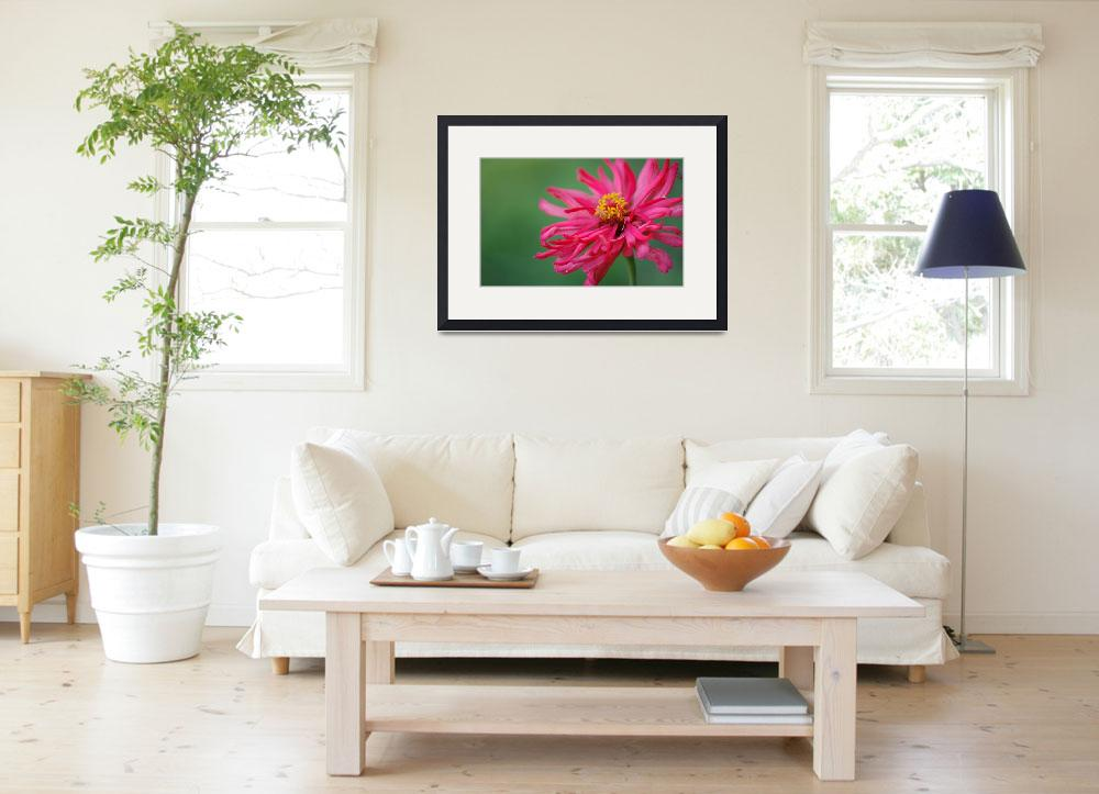 """""""Pink Spider Zinnia&quot  by Kimra"""