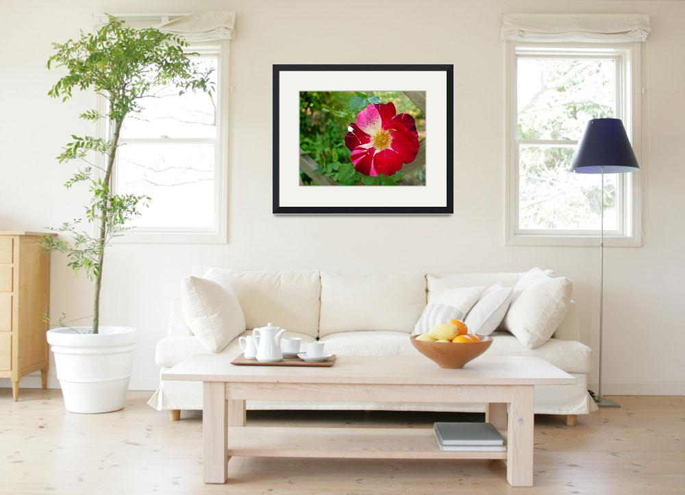 """""""Fourth of July Rose&quot  (2009) by RanaKWilliamson"""