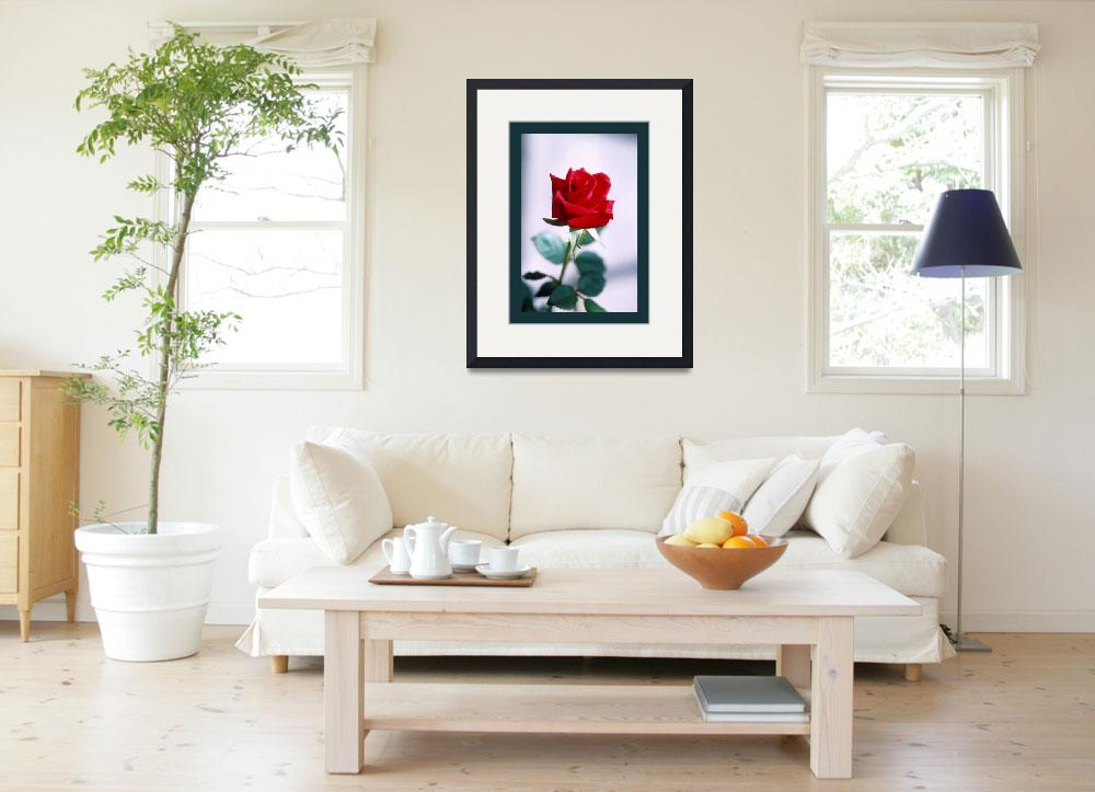 """Red Rose on white medium border&quot  (2013) by TheNorthernTerritory"