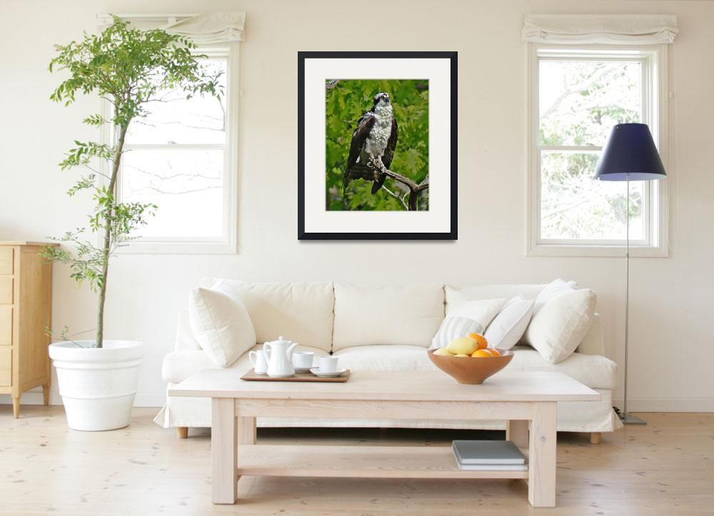 """""""Osprey (After A Dive)&quot  (2012) by bavosiphotoart"""