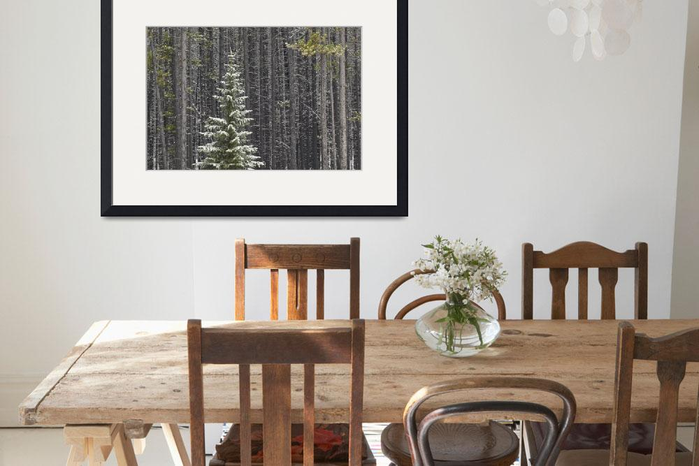 """""""Lone Spruce Tree Against Backdrop Of Lodgepole Pin&quot  by DesignPics"""