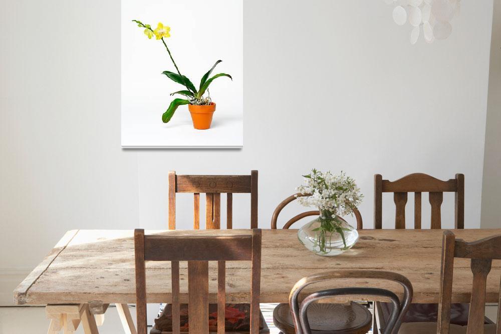 """phalaenopsis""  (2010) by Laverman"