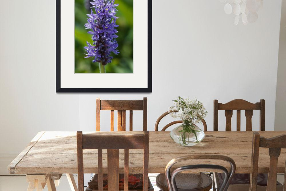 """""""Pickerelweed flowers (Pontederia cordata) bloomin&quot  by Panoramic_Images"""