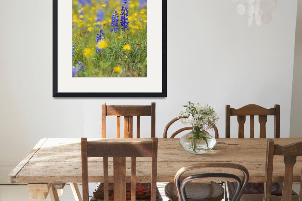 """""""Texas bluebonnet flowers in bloom among yellow wi&quot  by Panoramic_Images"""