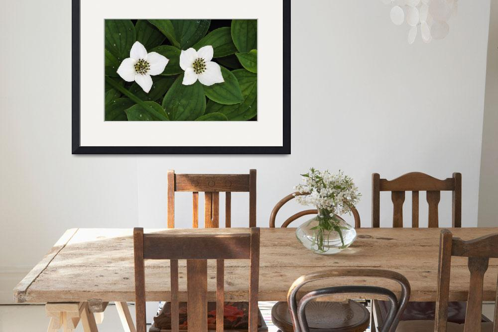 """""""Bunchberry flowers (Cornus canadensis) in bloom&quot  by Panoramic_Images"""