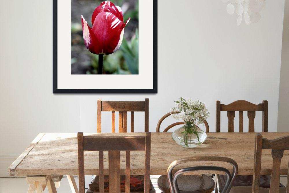 """""""Red Tulip-White Tinge&quot  (2009) by willifindunow"""