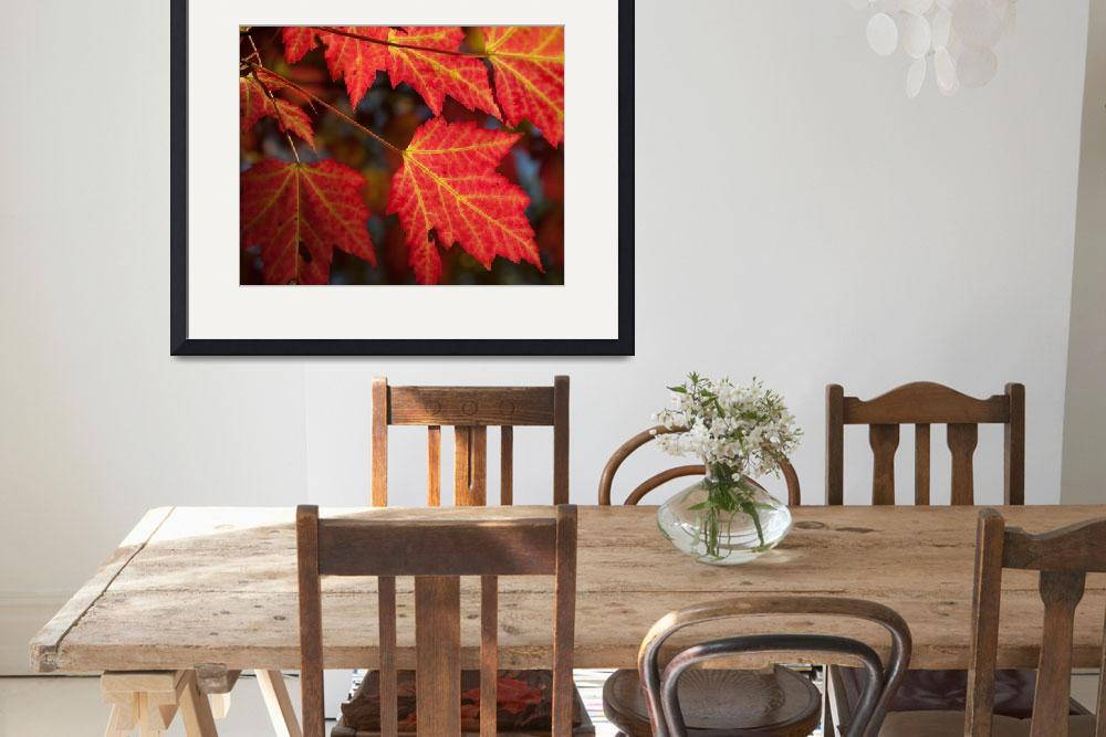 """""""Maple Leaves - Backlit""""  (2009) by Trailheads"""