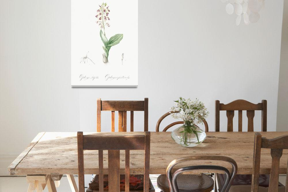 """Brown widelip orchid illustration from Les liliacé""  by motionage"