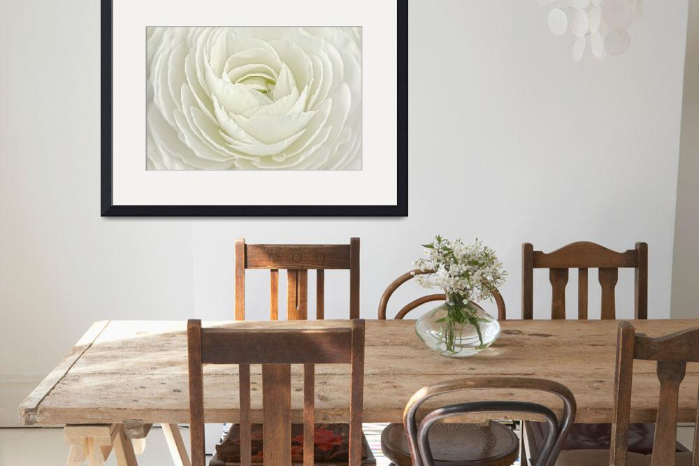 """""""White Persian Buttercup&quot  (2010) by CoraNiele"""