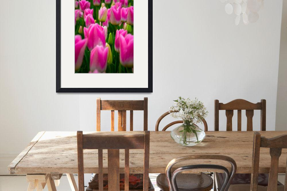 """Tulips in Roath Park, Cardiff&quot  by ajcronin"