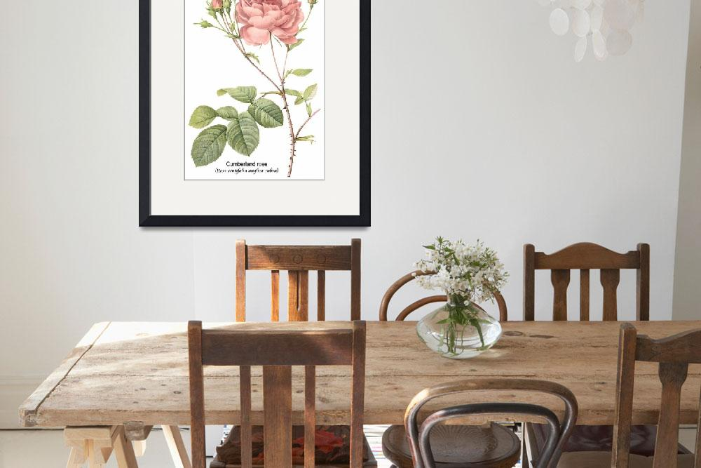 """Cumberland Rose Botanical Art&quot  by ArtLoversOnline"