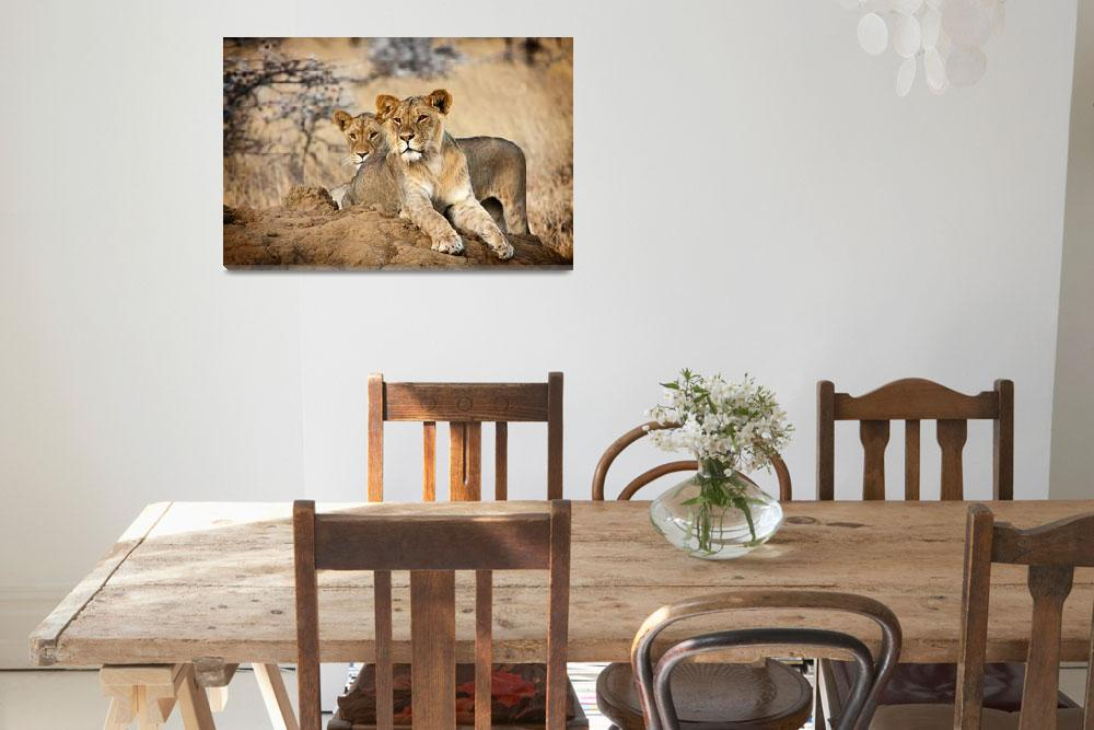 """""""Young Lions""""  (2012) by mjphoto-graphics"""