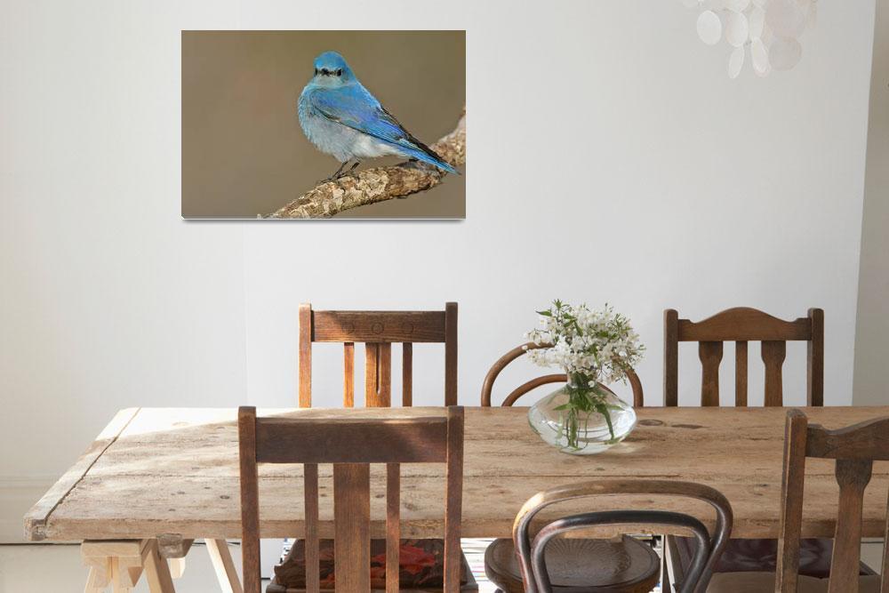 """""""Mountain Bluebird&quot  by PronghornPix"""