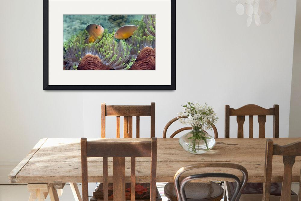 """""""Two Skunk Anemone fish and Indian Bulb Anemone&quot  by Panoramic_Images"""