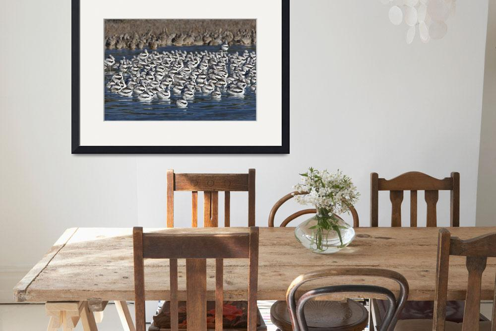 """Avocets, American (Recurvirostra americana) in Mor""  by mikebaird"
