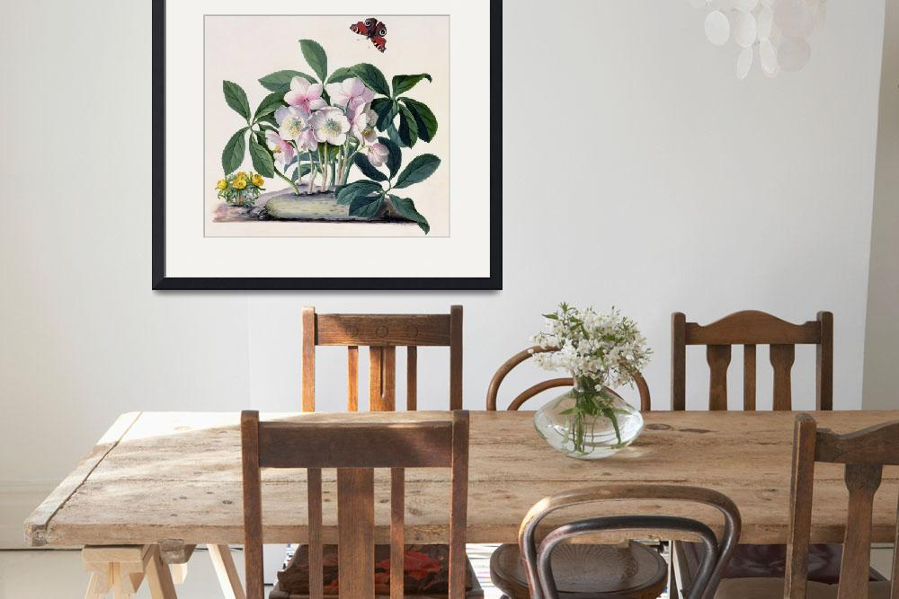 """""""Christmas Rose (Helleborus niger) and Winter Aconi&quot  by fineartmasters"""