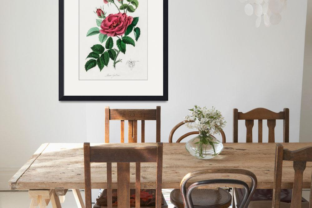 """Vintage Botanical French rose&quot  by FineArtClassics"