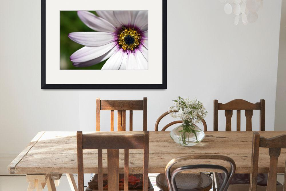 """Osteospermum (African Daisy)&quot  (2008) by jlhphotography"