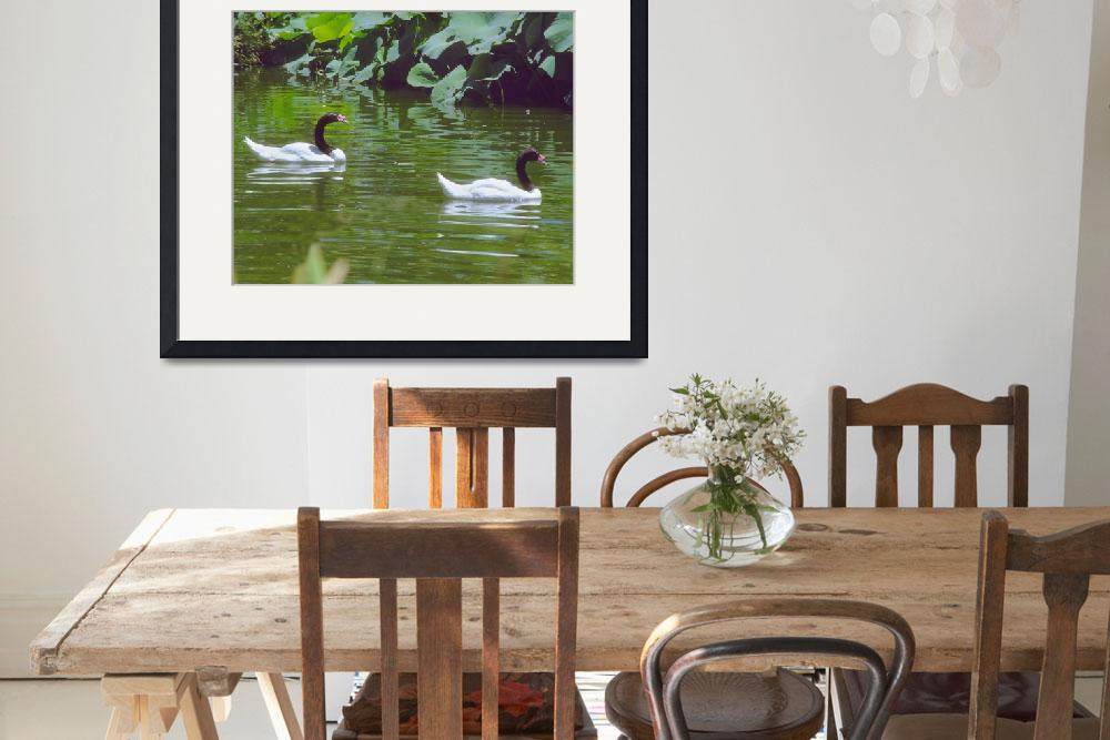 """""""2 Black and White Swans Swimming""""  by buffaloworks"""