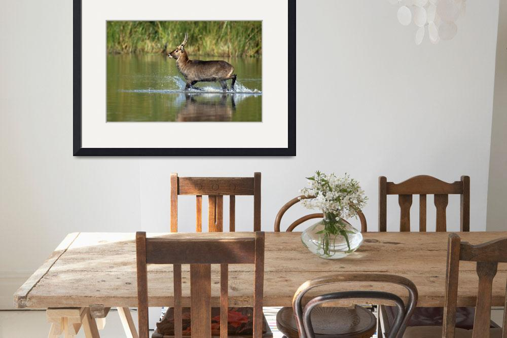 """Waterbuck running in water&quot  by Panoramic_Images"
