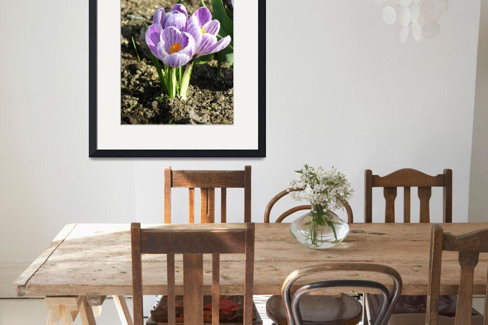 """""""crocus sprouts&quot  by photographsaroundtheworld"""