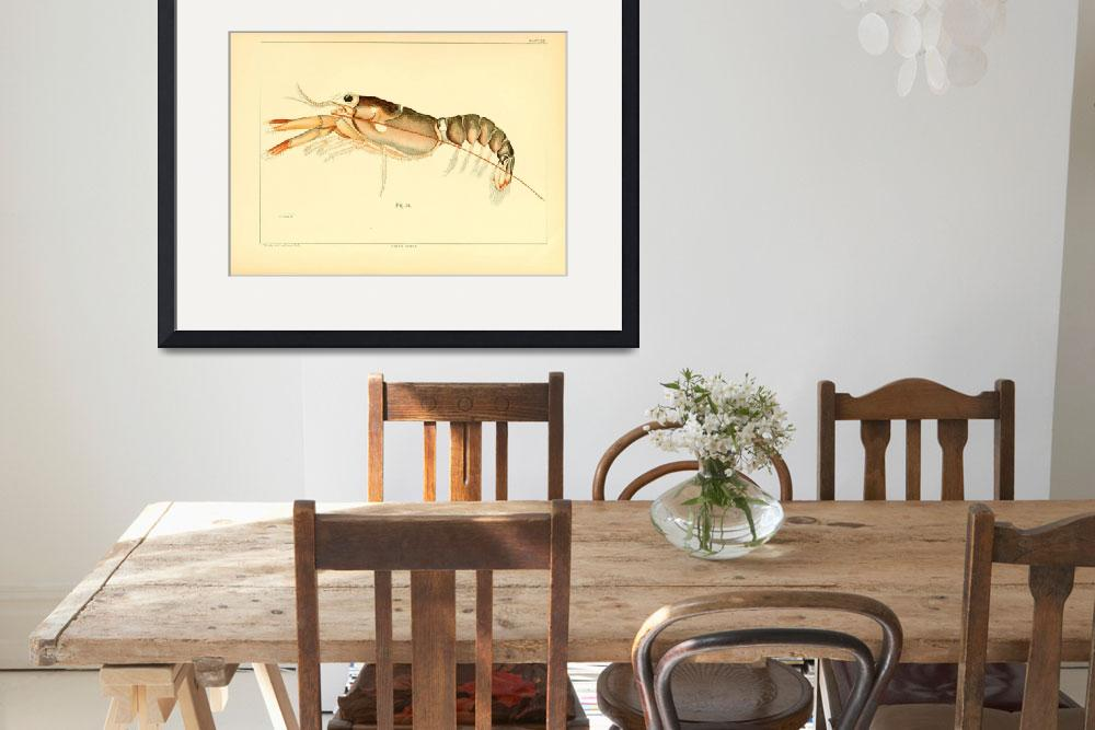 """Vintage Baby Lobster Illustration (1895)&quot  by Alleycatshirts"