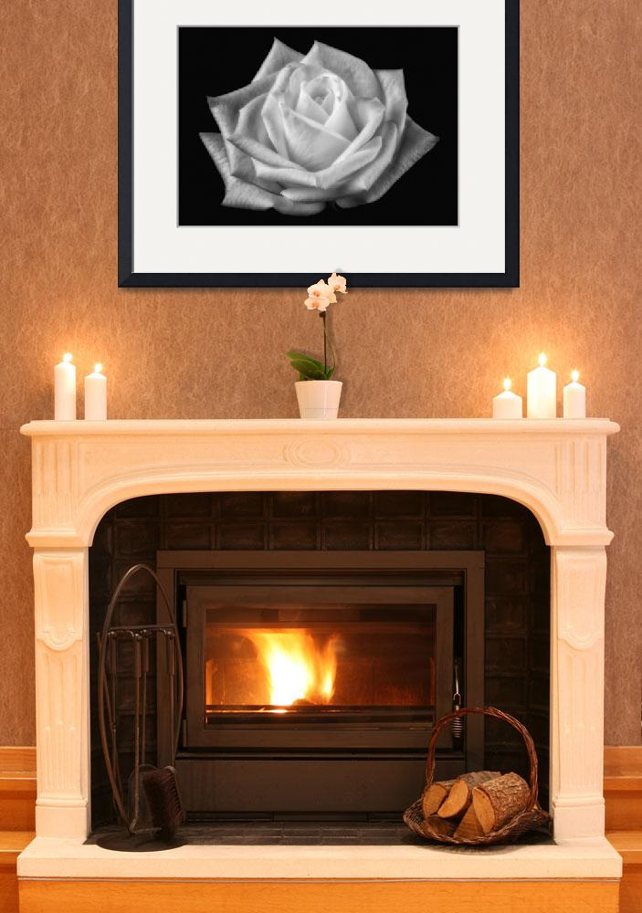 """""""White rose on black&quot  (2012) by CoraNiele"""