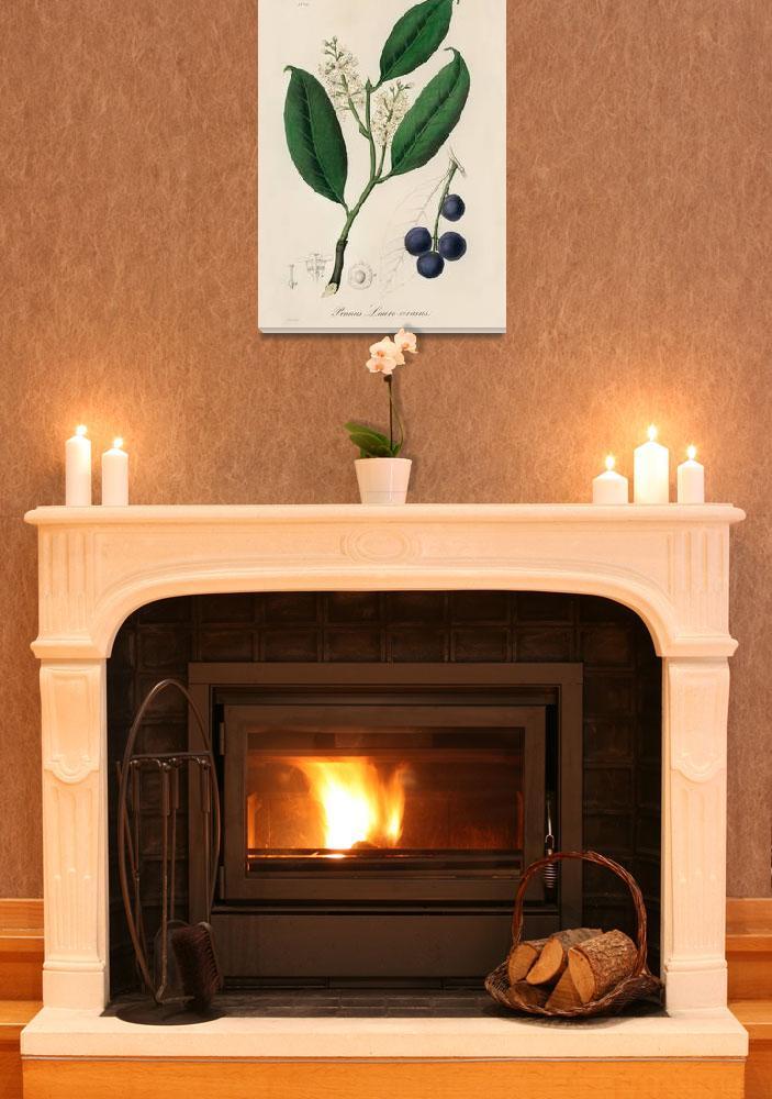 """Vintage Botanical Cherry Laurel""  by FineArtClassics"