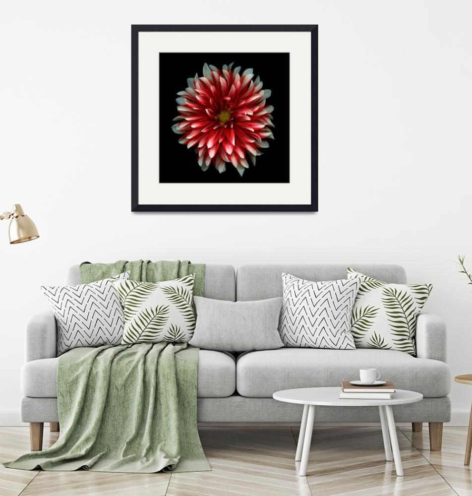 """Red and White Dahlia""  (2008) by OGphoto"