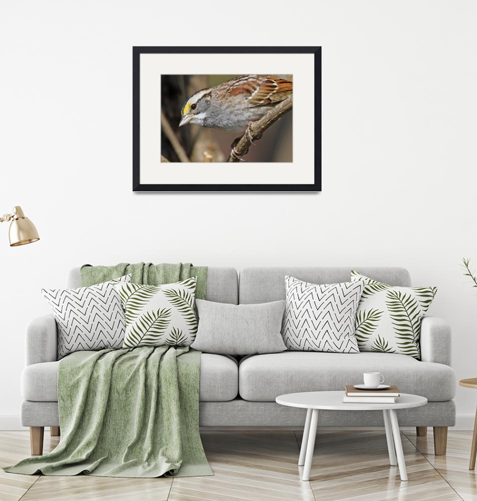 """""""White-throated Sparrow 1DH339highres""""  by jimcrotty"""