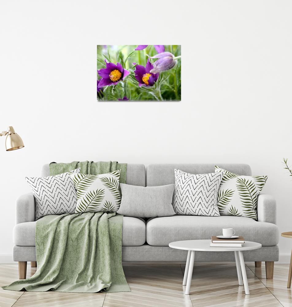 """purple pasqueflowers""  by mclcbooks"