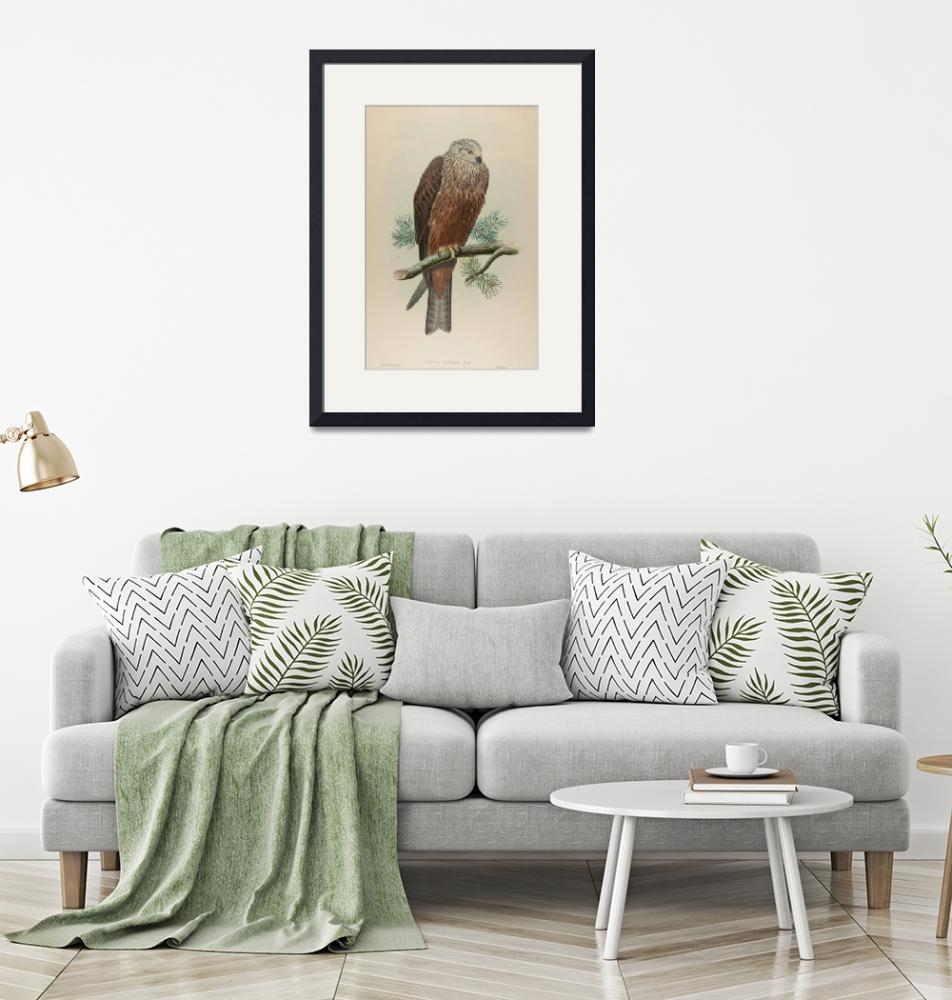 """""""John Gould~Lithograph, Milvus Migrans, Bodd, Black""""  by Old_master"""