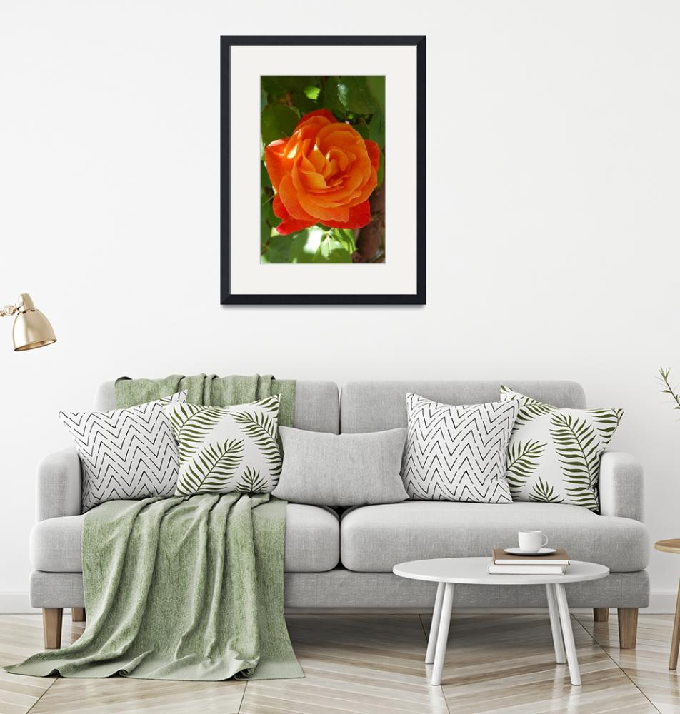 """Orange Rose""  by kncphotos"