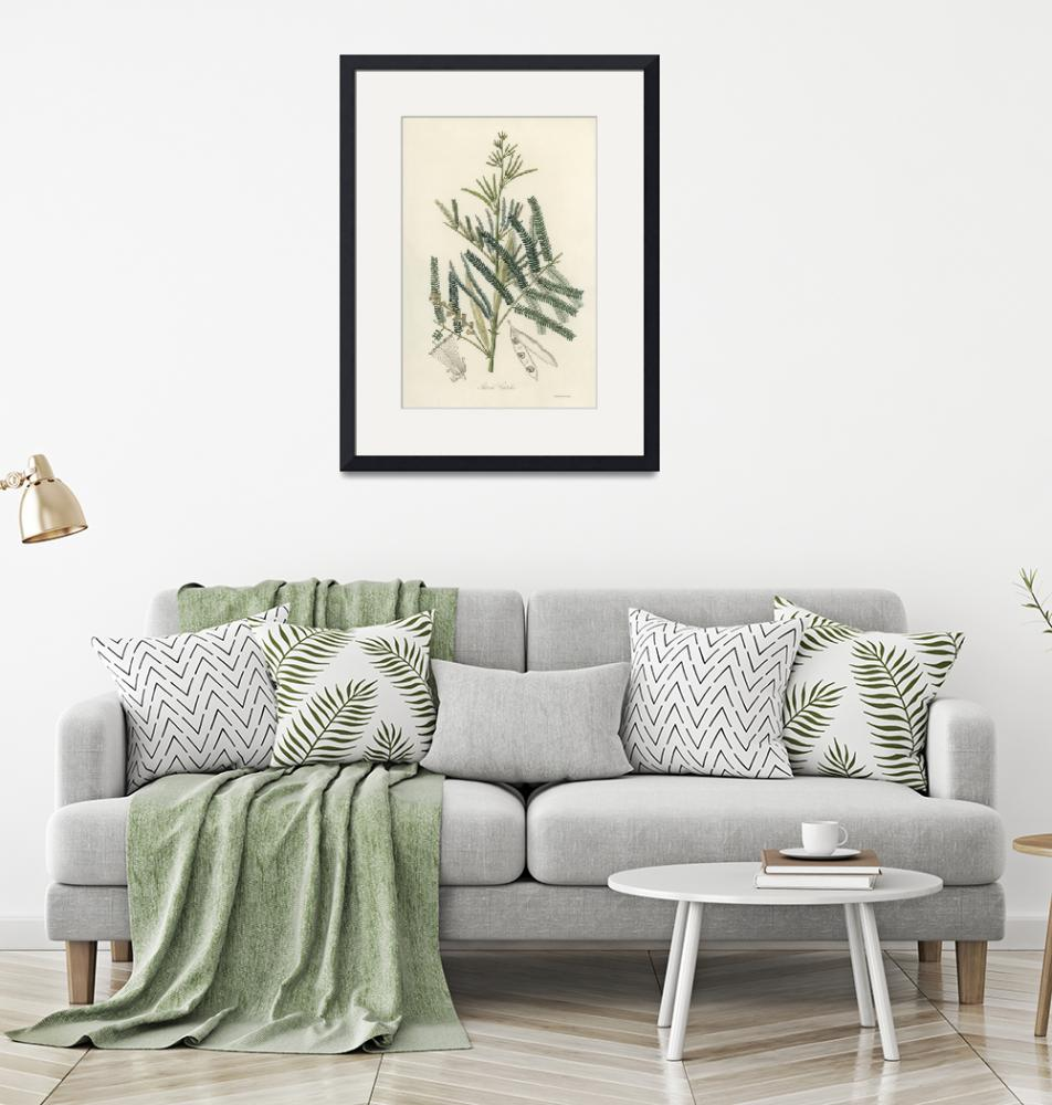 """""""Vintage Botanical Mimosa catechu""""  by FineArtClassics"""