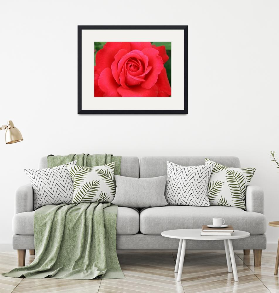 """""""blooming red rose"""" (2008) by daisyjoan"""