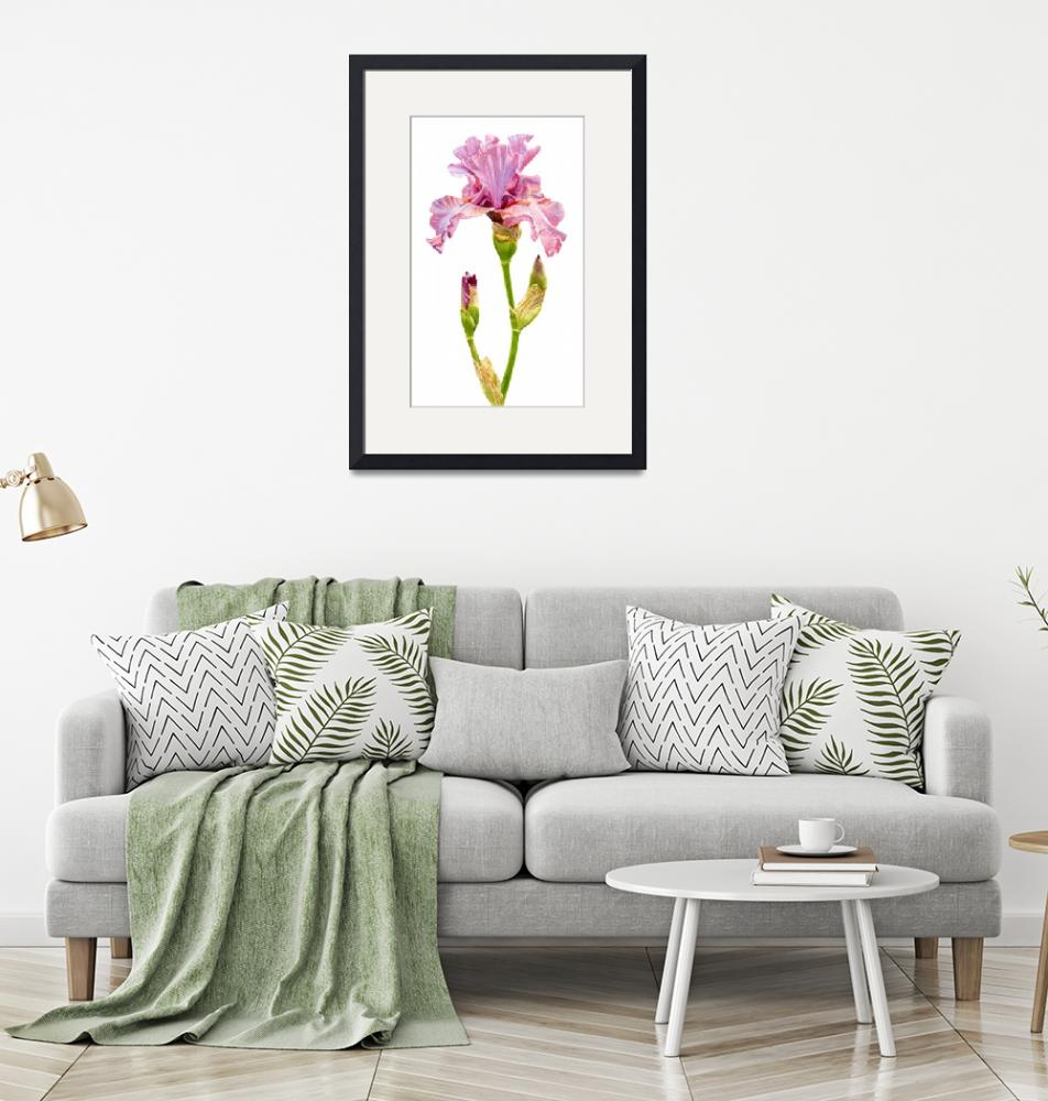 """""""pink and violet elegant iris with buds""""  (2019) by Pacific-NW-Watercolors"""