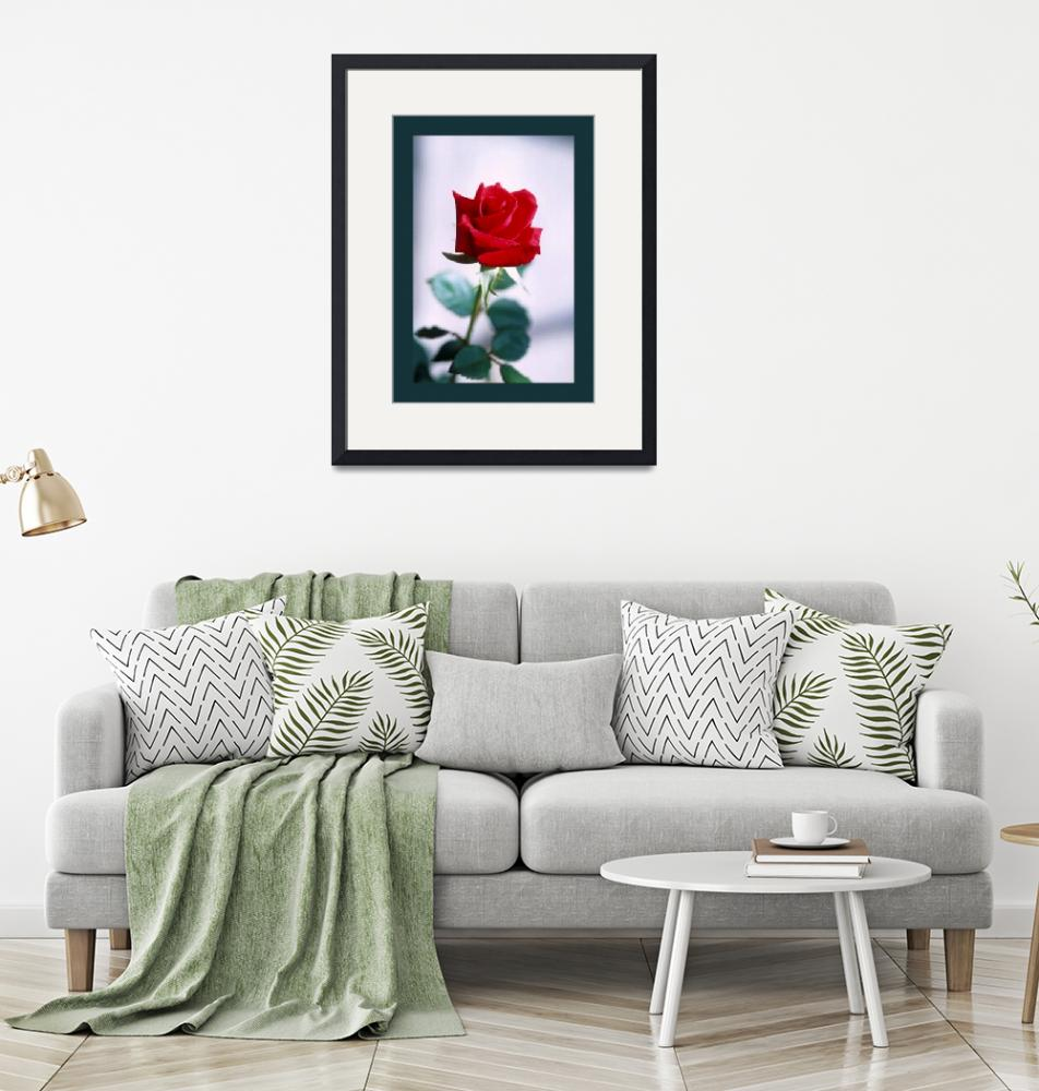 """""""Red Rose on White large aqua border""""  (2013) by TheNorthernTerritory"""