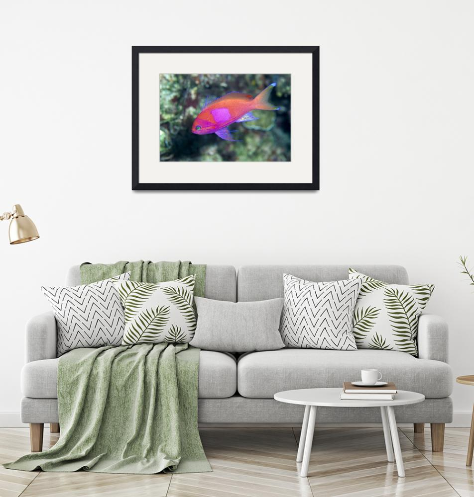 """Papua New Guinea, Milne Bay, Square-Spot Anthias,""  by DesignPics"
