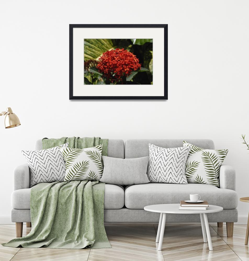 """""""Cayman Islands Plant Life: Red Ixora""""  by RonScott"""