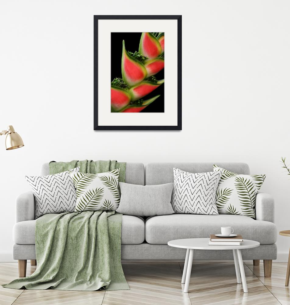 """Rainbow Heliconia Pink Spotted Lobster Claw""  (2009) by sharonmau"
