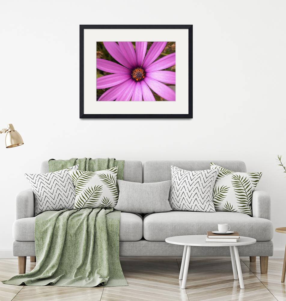 """""""Lavender African Daisy, Close Up_1720""""  (2005) by AmbientCreations"""