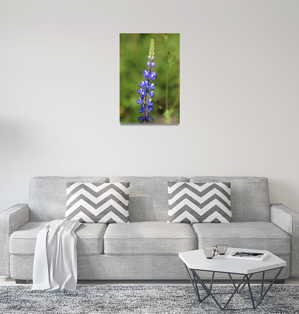 """Lupine in a Field""  (2015) by rhamm"