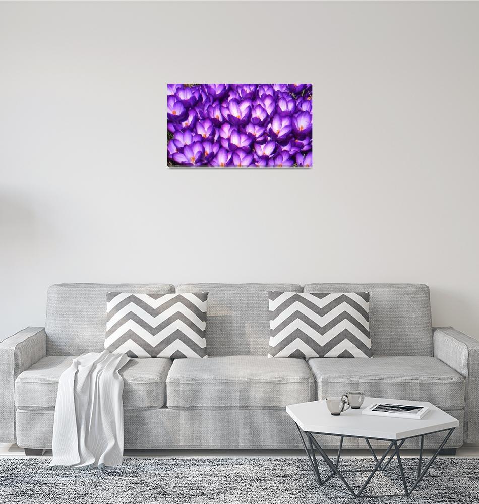 """Purple Crocus""  (2010) by micspics444"