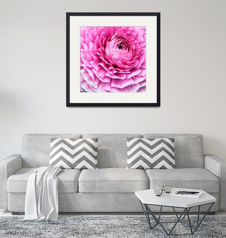 """Pink Ranunculus Flower Bloom""  (2011) by johncorney"
